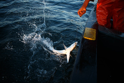 Blue shark bycatch