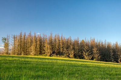 Landscape with tree after bark beetle attack