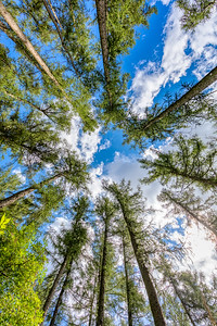 Tall pine tree tops against blue sky and white clouds