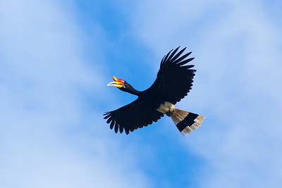 Rhinoceros hornbill in flight