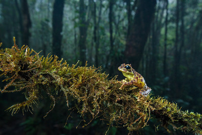 Mossy tree frog