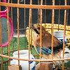 A caged Eurasian jay has lost its tail at a market in Chengdu, China.