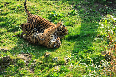 Play fighting Sumatran tiger cubs