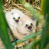 Days-old Montagu's harrier chicks wait for their parents to bring food. Montagu's harriers make the 5,000 kilometer migration to breed in Europe, where they spend about four months of the year. Groningen, the Netherlands.