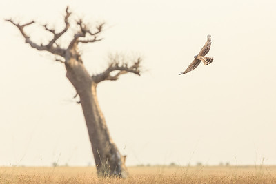 Montagu's harriers spend six months of the year in the Sahel. This female forages by a lone baobab tree. Khelcom, Senegal.