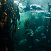 White steenbras in Ocean Basket Kelp Forest Exhibit, Two Oceans Aquarium, Cape Town.