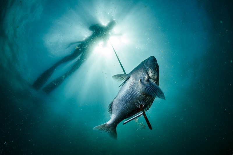 A Hottentot seabream shot with a speargun. Spearfishing and hook-and-line fishing have caused the collapse of many of False Bay's fish stocks, despite being selective fishing methods.