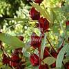 Sorrel Herb - Plant of the Virgin Islands