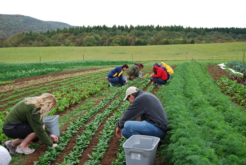 ORIGINAL: April 19, 2010 — Erika Osborne, assistant professor at the College of Creative Arts, designs courses that help students explore the relationship between art and environment. Here, students harvest spinach at Round Right Farm. The class uses their experiences and observations as subject matter in the studio.