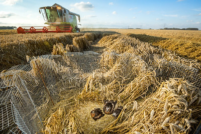 In most of Europe, natural breeding habitats of Montagu's harriers have disappeared, forcing them into farmland. 60% of farmland nests would be destroyed in the absence of nest protection. Here, a combine passes by a protected Montagu's harrier nest in Groningen, the Netherlands.  NB: This is a composite photo. Chicks of this age may flutter out of the cage from fear of the noise and end up in the combine harvester. For this reason, they were temporarily removed from the nest by Dutch Montagu's Harrier Foundation staff. Unfortunately, the pictured situation does occur as the Foundation is often not alerted when the harvest takes place.
