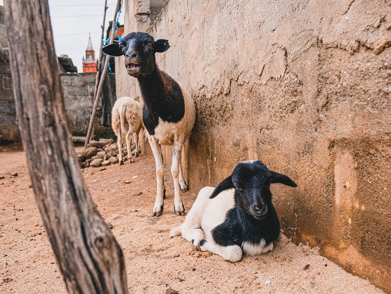 Animals could be found everywhere in the village that the students worked in. Photo by Kallie Nealis, May 2019.