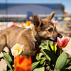 A puppy stops to smell the tulips behind the Mountainlair at WVU, April 2, 2020. Photo: Geoff Coyle