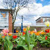 Tulips bloom in front of the walking bridge on the Downtown campus at West Virginia University, March 29, 2020. Photo: Geoff Coyle