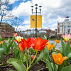Tulips bloom on the Downtown campus of West Virginia University, March 29, 2020. Photo: Geoff Coyle