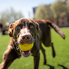 A dog plays fetch on the Mountainlair Green, April 2, 2020. Photo: Geoff Coyle