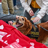 UPD K-9, Ginger shows her excitement for all of the pets from students in the Mountainlair on Valentine's Day, Feb. 14, 2020. Photo by Kallie Nealis.