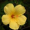 Yellow Hibiscus _ Bermuda