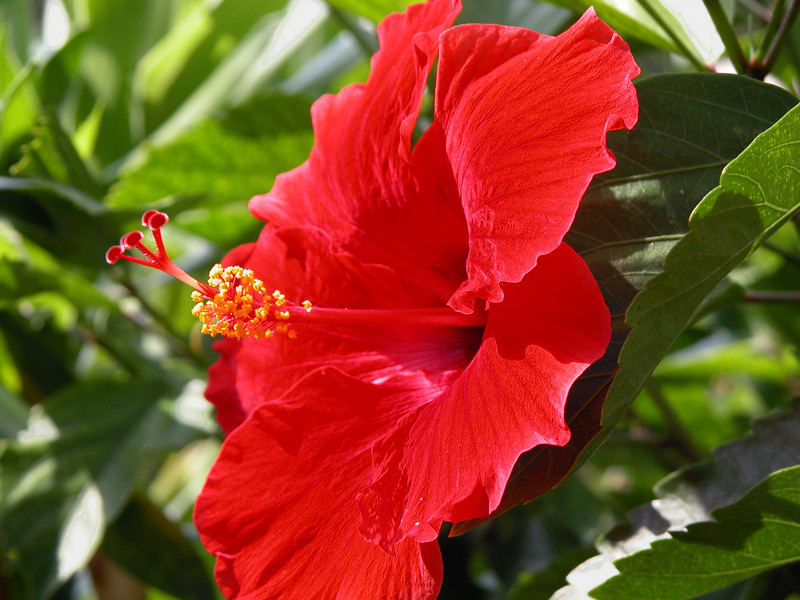 Red Hibiscus _ Bermuda