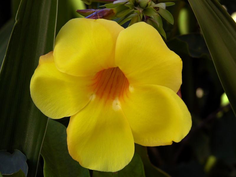 Yellow Flower _ Bermuda