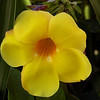 Yellow Flower _ Bermuda