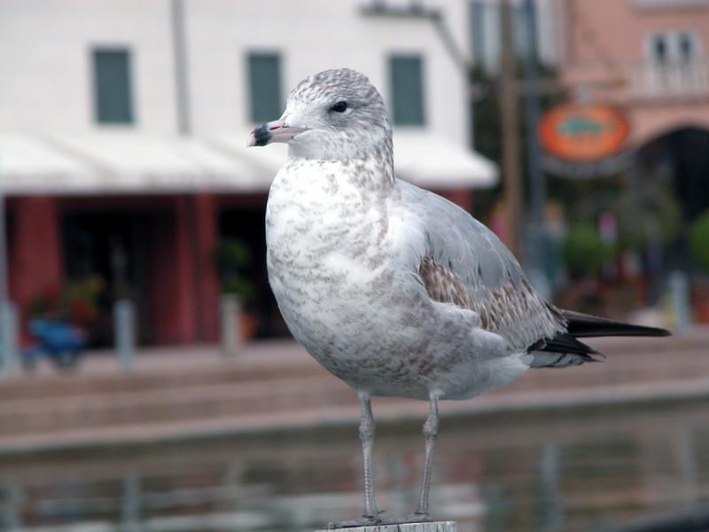 Portafino Bay Hotel gulls 2