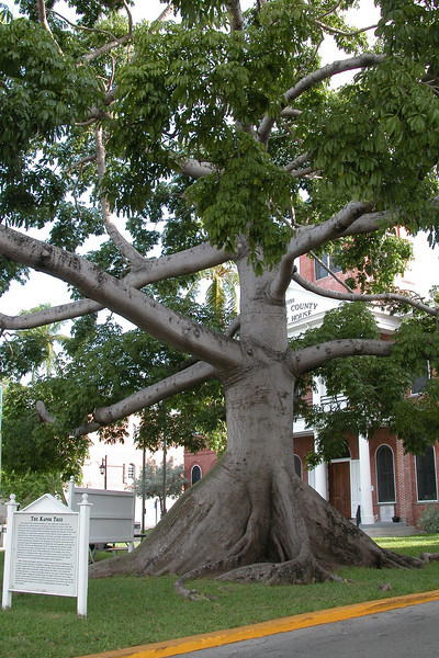 Kapok Tree - Key West, FL
