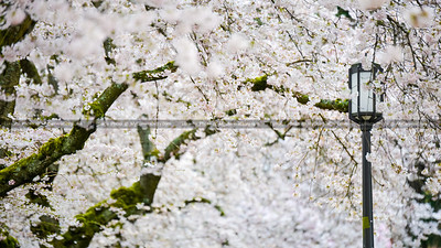 Cherry Blossom At University of Washington