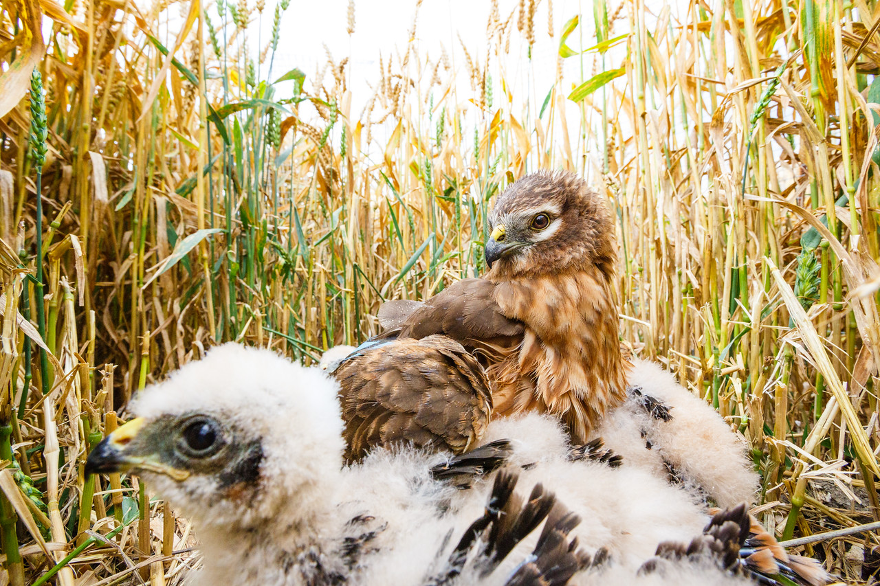 Montagu's harrier mother and chicks