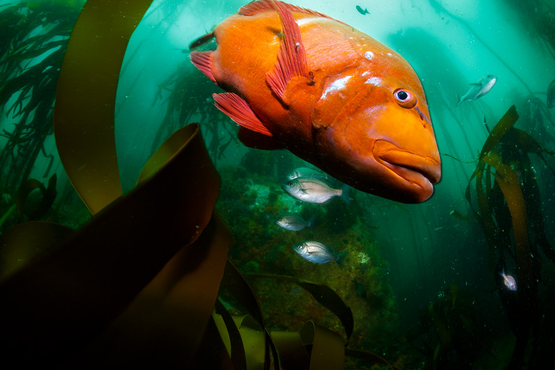 A red roman and hottentot seabream in Table Mountain National Park Marine Protected Area. Populations of this seabream have been in decline from overfishing, but show a strong recovery in no-take marine protected areas.