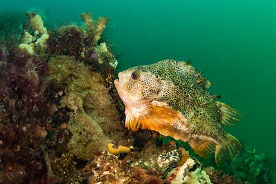 Lumpfish guarding eggs