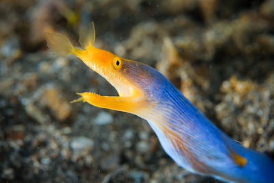 Ribbon eel