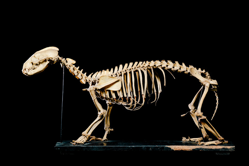 Badger skeleton