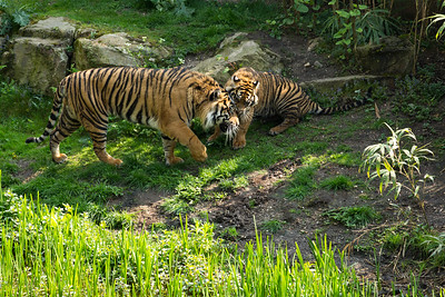 Sumatran tiger with cub
