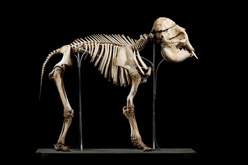 Asian elephant skeleton