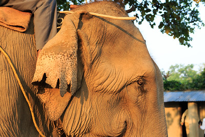 Asian elephant with rider