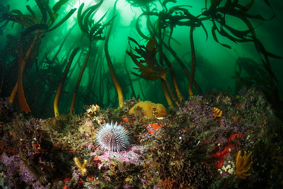 Sea urchin amid kelp