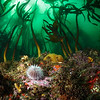 A lone sea urchin grazes on a turbid but colorful rocky reef in False Bay, South Africa.
