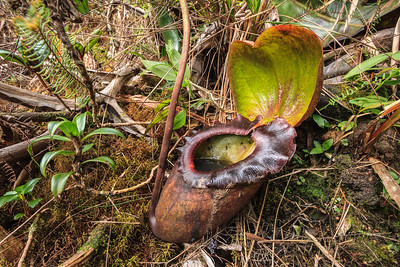 Nepenthes rajah pitcher, Mount Kinabalu, Borneo.