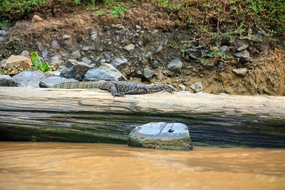 Asian water monitor