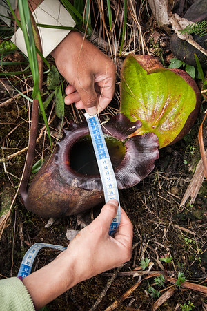 Nepenthes rajah