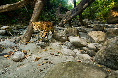Leopard in streambed
