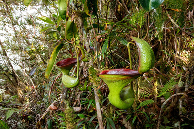 Toilet pitcher plant