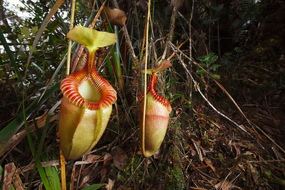 Villose pitcher plant (Nepenthes villosa)
