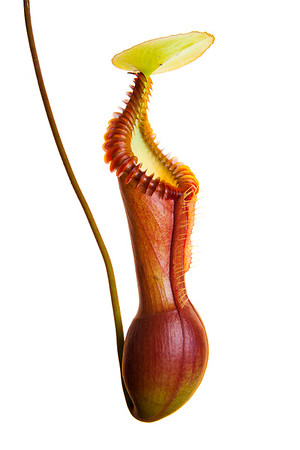 Splendid pitcher plant (Nepenthes edwardsiana)