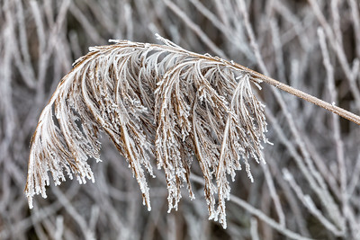 Reeds in winter frost