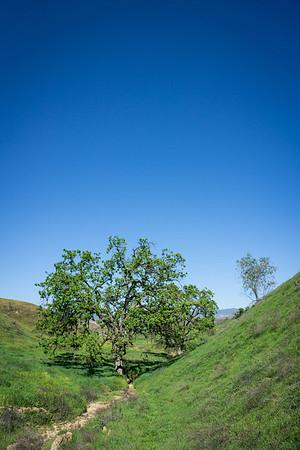 Vertical Composition Oak Tree