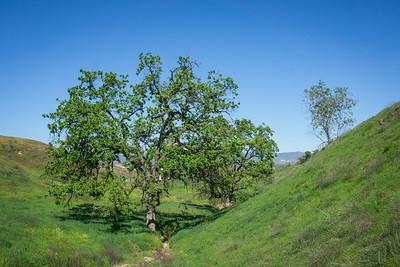 Trees on California Hillside