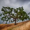 Green Oak Tree California