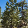 Southern California Mountain Pines