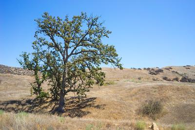 Oak in Rolling Hills